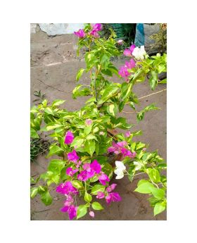 Aromatic Jui flower Tree with big pot and decoreted