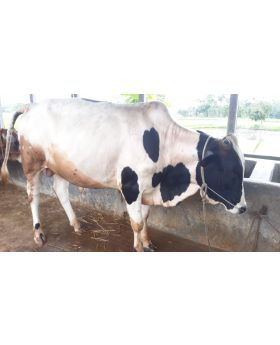 Native ( Deshal)  Cow  Black with coffe -N-035