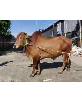 Token 3255 Red Color 330kg Cow