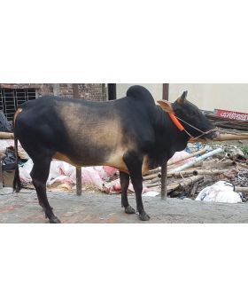 Choto Fighter 250 KG Small Size Deshi Deshal Local Bull