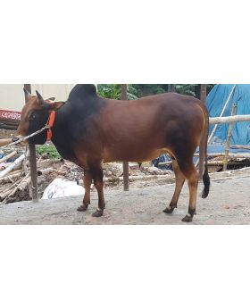 Choto Lal 215 KG Small Size Deshal Deshi Local Bull